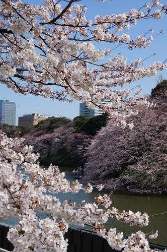 桜-7.jpg